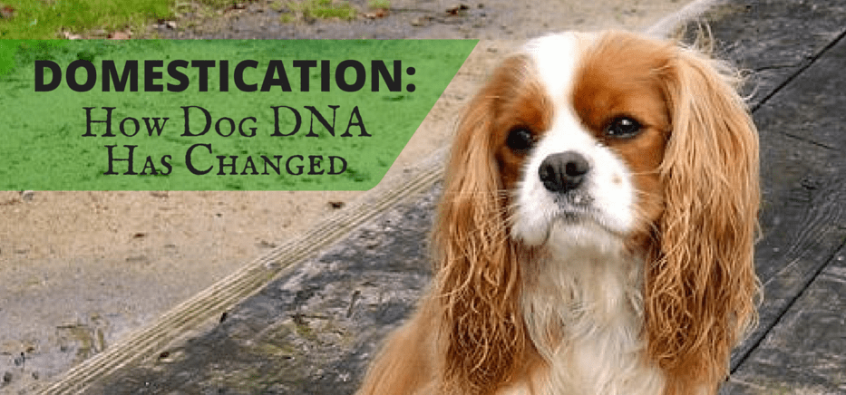 Domestication- DOG DNA copy