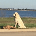 Loyal Dog Stands Guard Over Canine Friend After Hit By Car